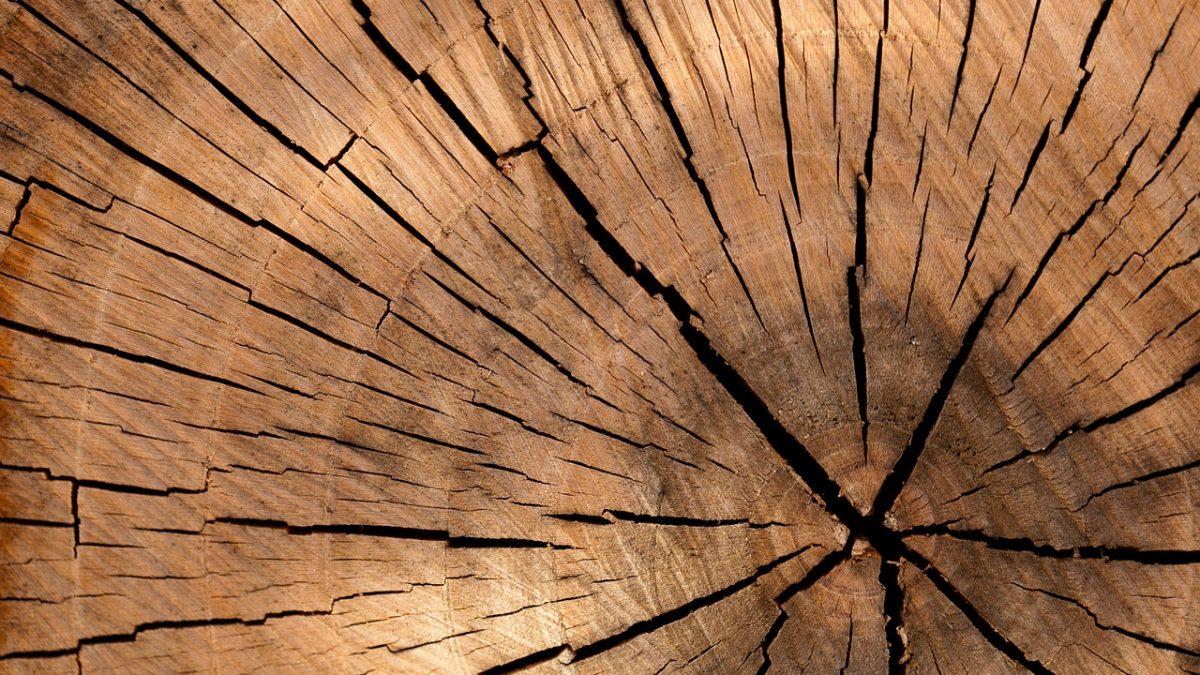Przekrój ściętego drzewa