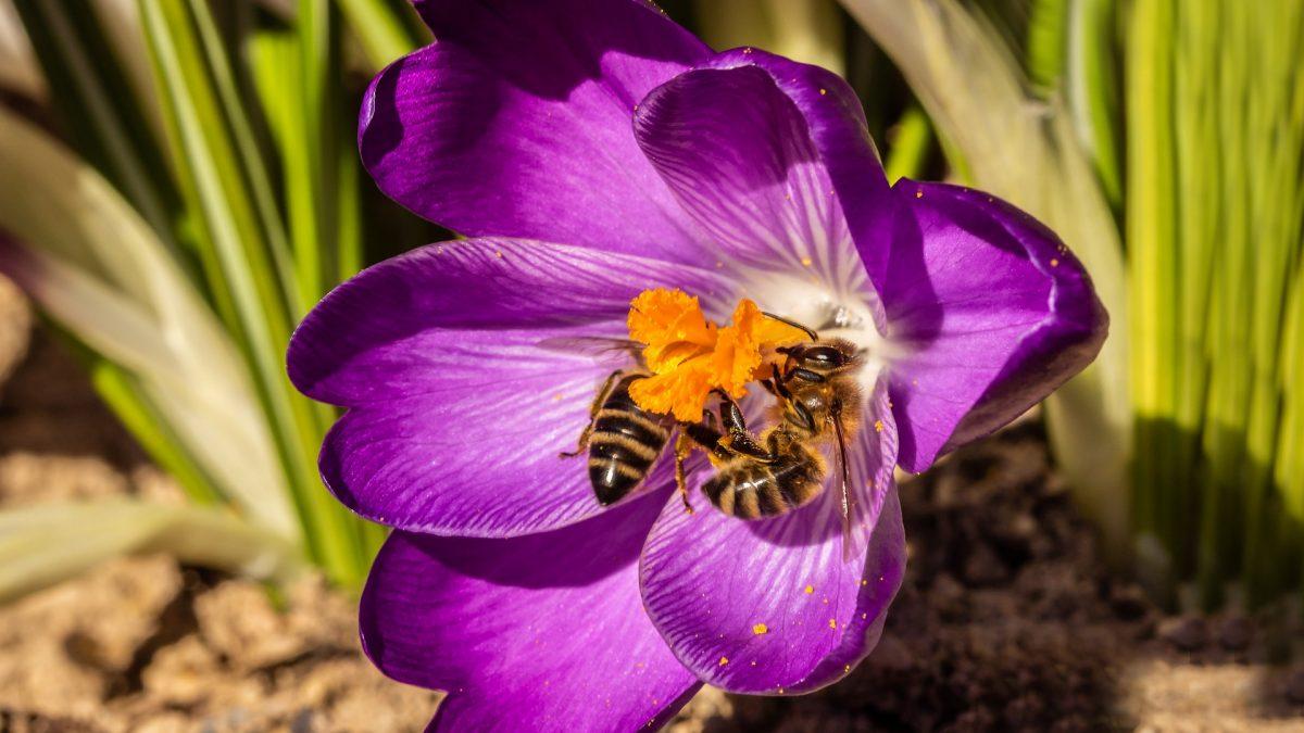 Gierałtowice bliżej przyrody. Więcej krokusów, więcej pożywienia dla pszczół